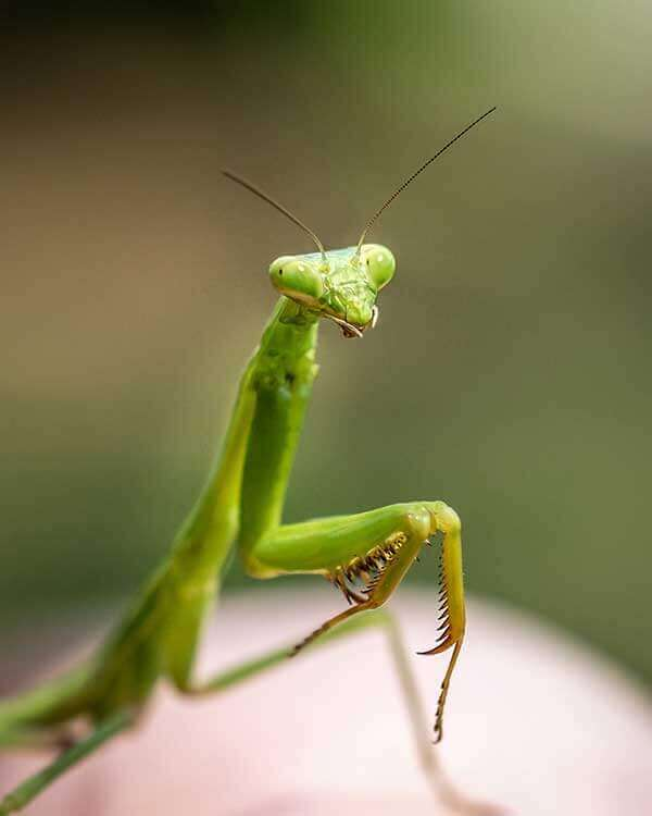 Nature Close Up - Praying Mantis