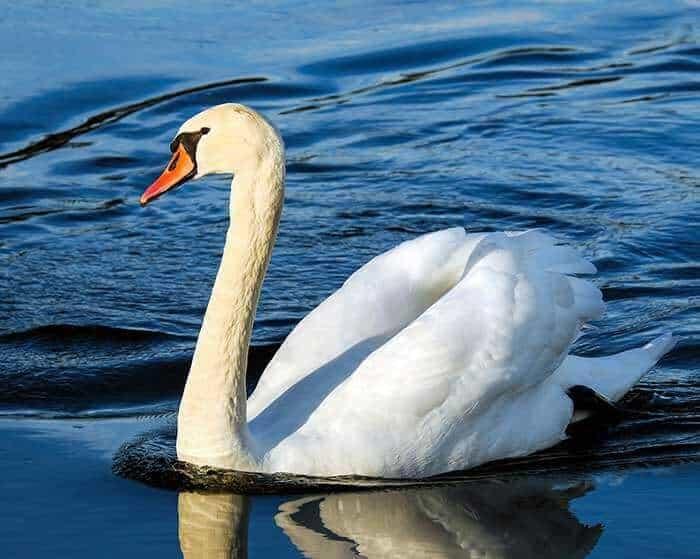 Wildlife Photography Tips swan