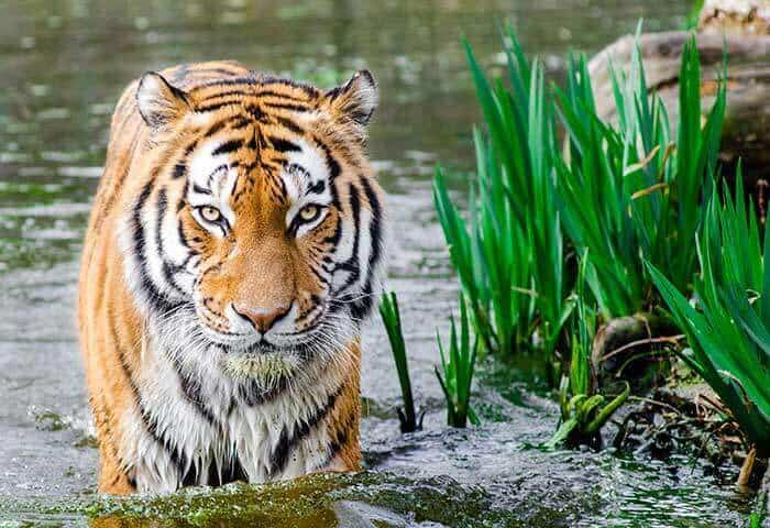 Wildlife Photography Tips tiger