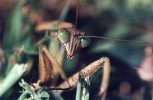 Wildlife Photography: Praying Mantis