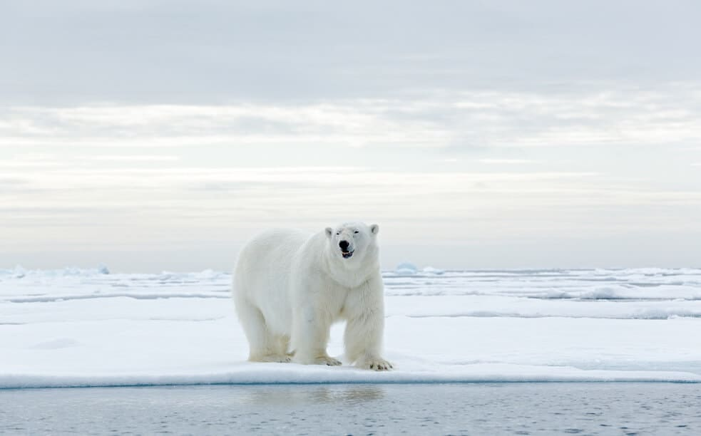 big white polar bear standing in the middle of an ice edge in the Arctic.