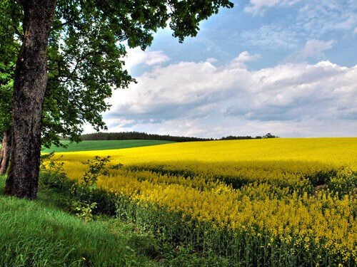 Canola Field in Poland by Teryani Riggs