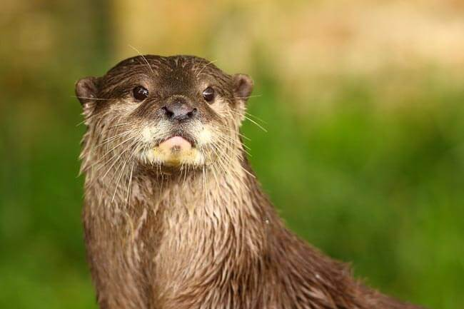 Otter - Cotswold Wildlife Park by Airwolfhound