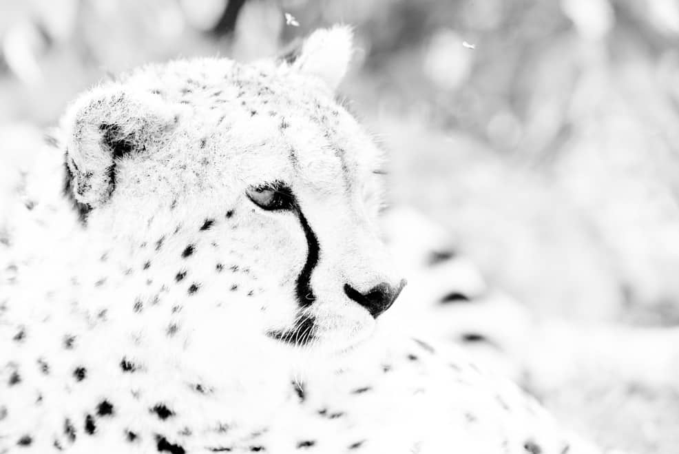 high key image of a Cheetah.